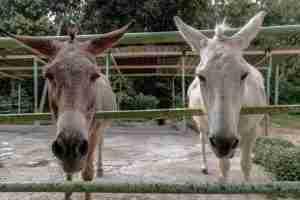 Ride donkeys in Israel