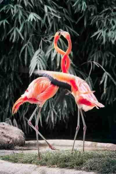 Flamingos in the Biblical Zoo